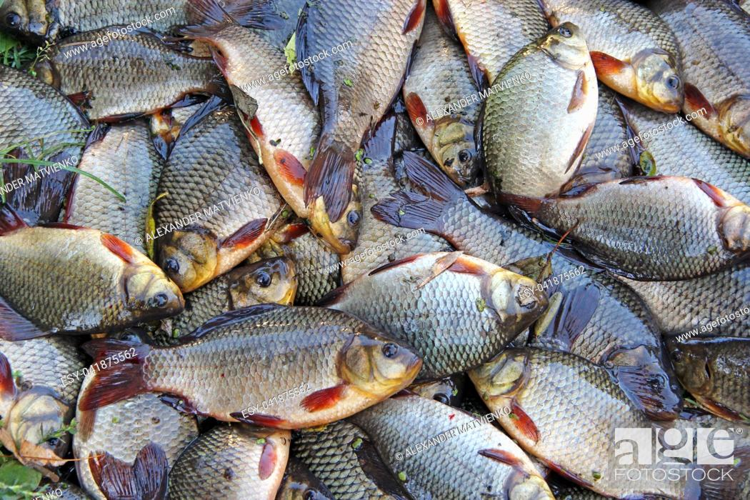Imagen: Caught crucians on green grass. Successful fishing. A lot of crucian carp. Freshly caught river fish. Caught fishes after lucky fishing.