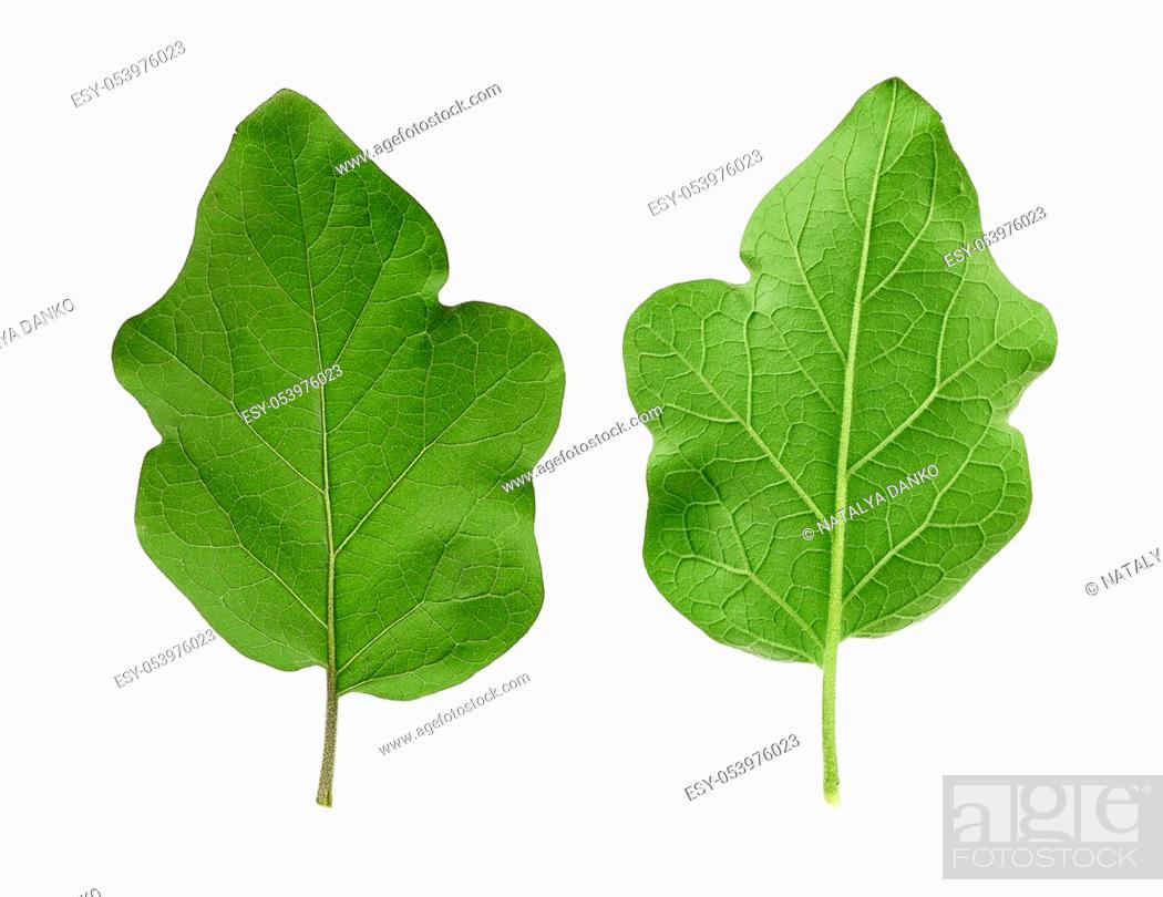 Stock Photo: set of two green fresh eggplant leaves isolated on a white background, close up.