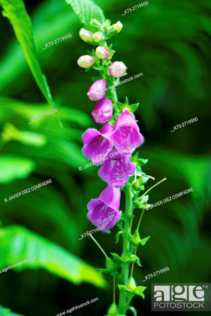 Stock Photo: Purple Foxglove (Digitalis Purpurea). Saja-Besaya Natural Park. Cantabria. Spain.