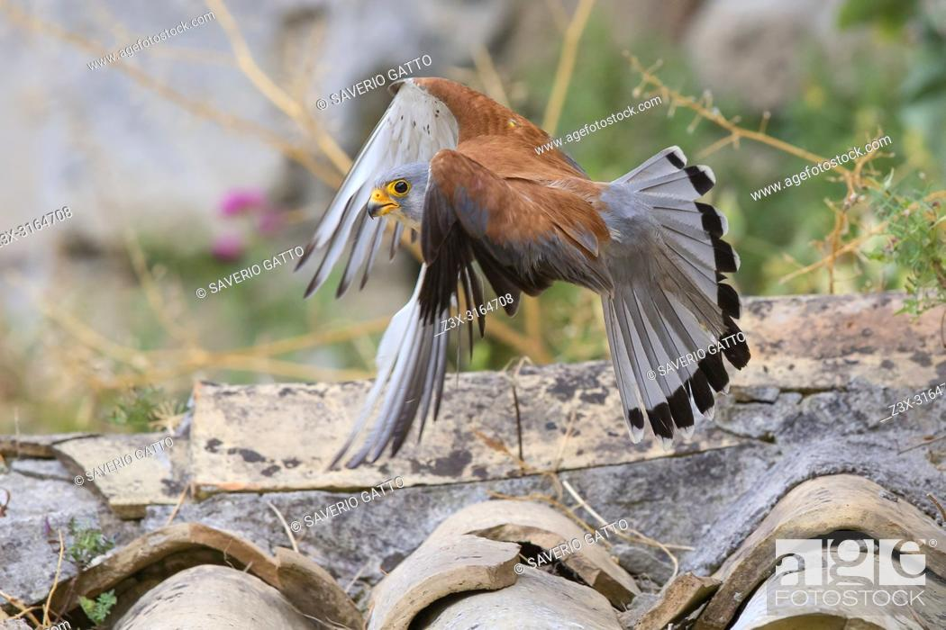 Stock Photo: Lesser Kestrel, Flight, Matera, Basilicata, Italy (Falco naumanni).