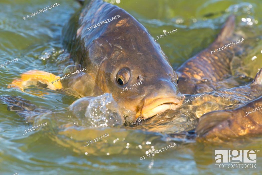 Stock Photo: Common carp (Cyprinus carpio).