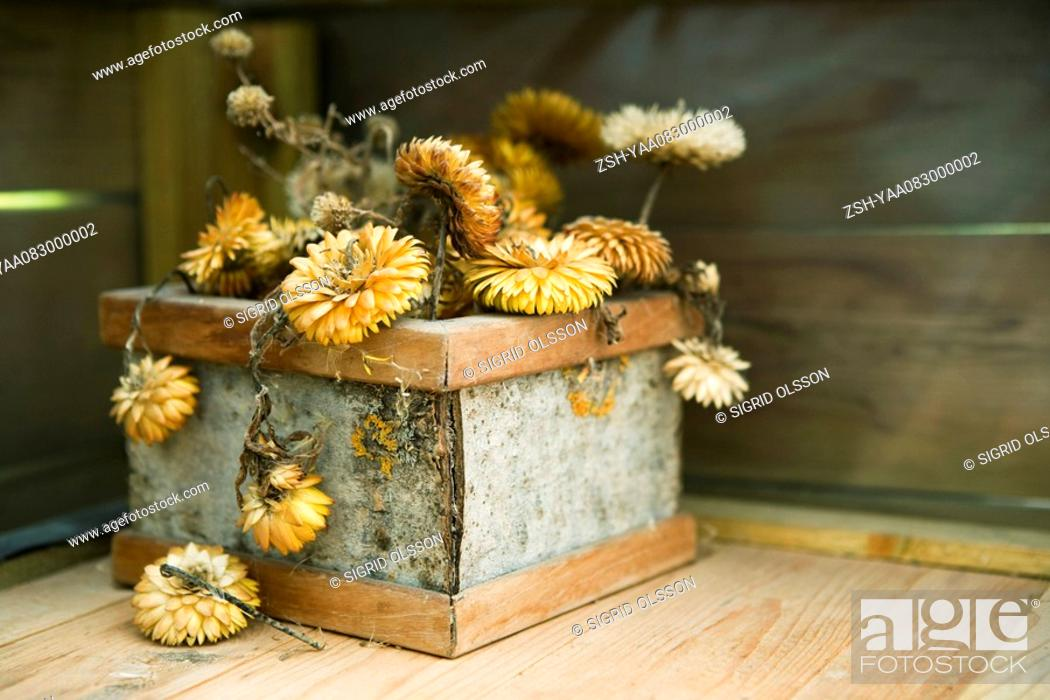 Stock Photo: Withering strawflowers in planter.