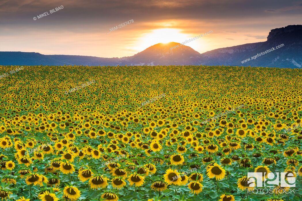 Stock Photo: Sunflowers plantation. Arteaga village, Tierra Estella county. Navarre, Spain, Europe.