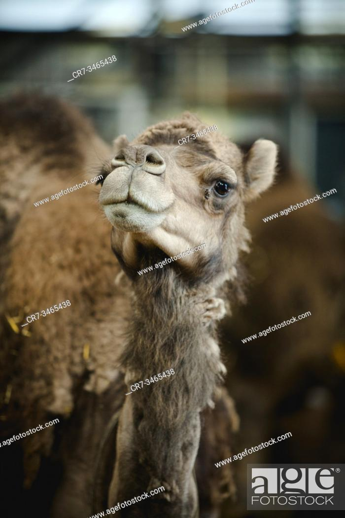 Stock Photo: Camels from a camel farm enjoying the day outside during first turn-out day of the year, Netherlands.