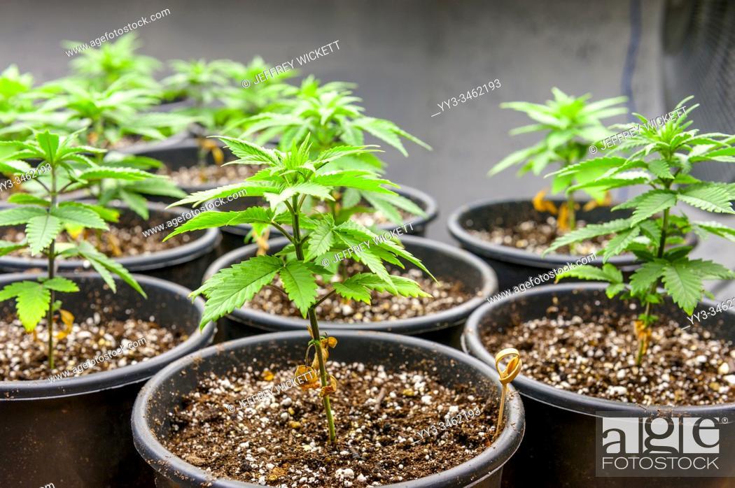 Stock Photo: Medical marijuana cultivation under T5 flourescent grow lights.