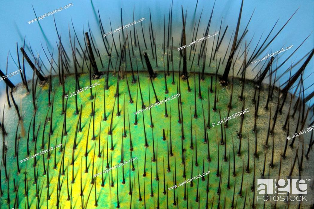 Stock Photo: Microscopy as art  Detail of the abdomen of the greenbottle fly, lucilla caesar showing structure of hairs and metallic texture.