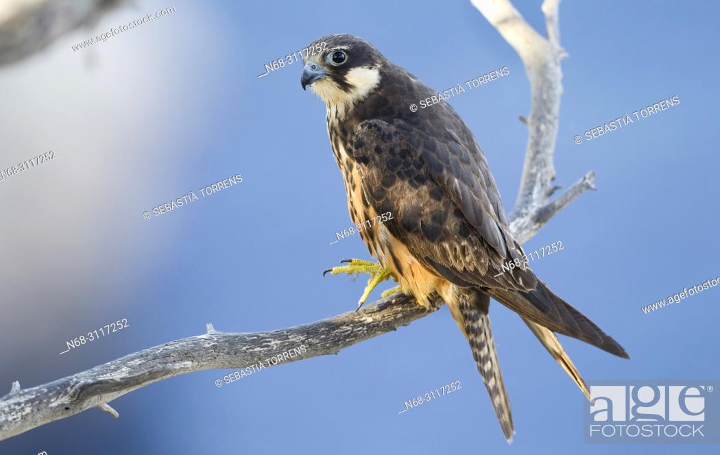 Stock Photo: Eleonora's falcon, Falco eleonorae on a branch and the Mediterranean Sea as a background, Majorca, Balearic Islands, Spain.