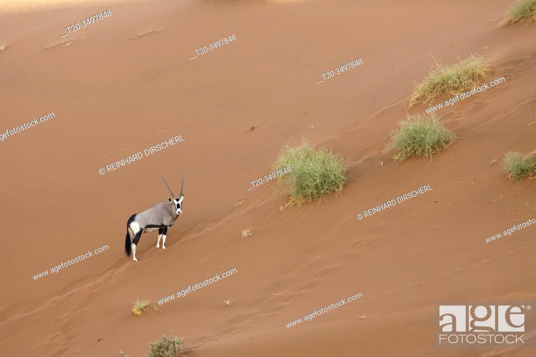 Stock Photo: South African Oryx in Sossusvlei, Oryx gazella, Namib Naukluft Park, Namibia.