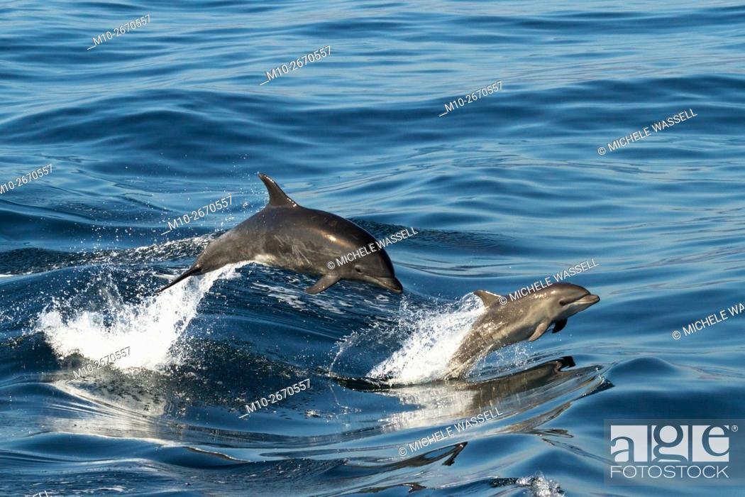 Stock Photo: Mom and baby offshore Bottlenose dolphins porpoising out of the water in sync.