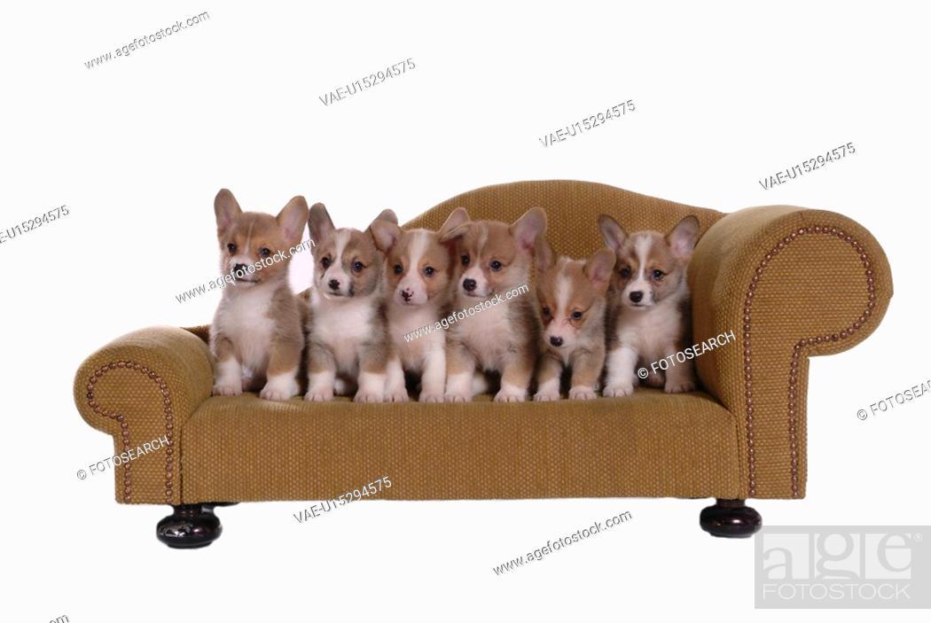 Stock Photo: domestic, paw, puppy, canines, corgi.