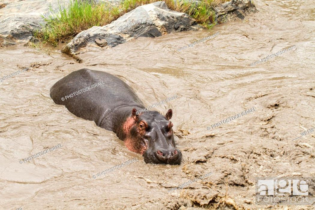 Stock Photo: A herd of hippopotamus in a river at Serengeti National Park, Tanzania.