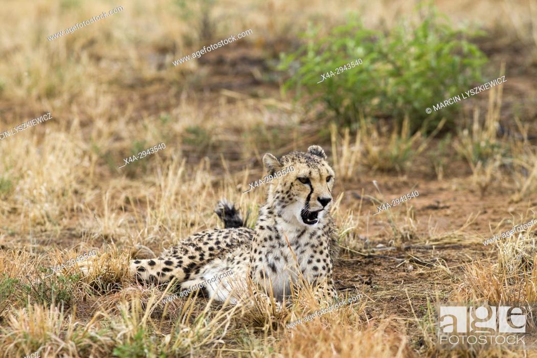 Stock Photo: A Lying cheetah.