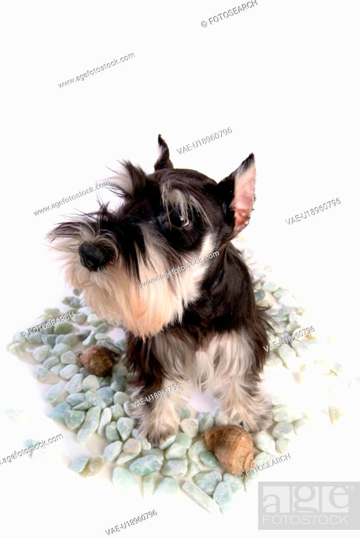 Stock Photo: pose, schnauzer, house pet, canines, domestic, miniature schnauzer.