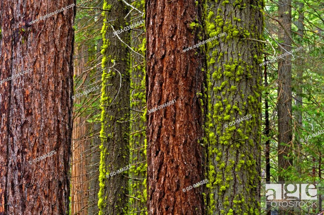 Stock Photo: Trees in the Yosemite national park, the USA,.