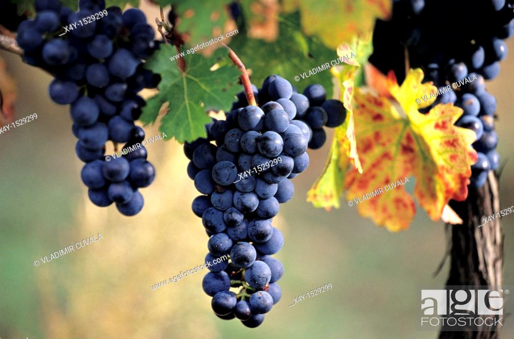 Stock Photo: The bunch of red wine grapes in the evening sun on the foothills of Male Karpaty, Slovakia.