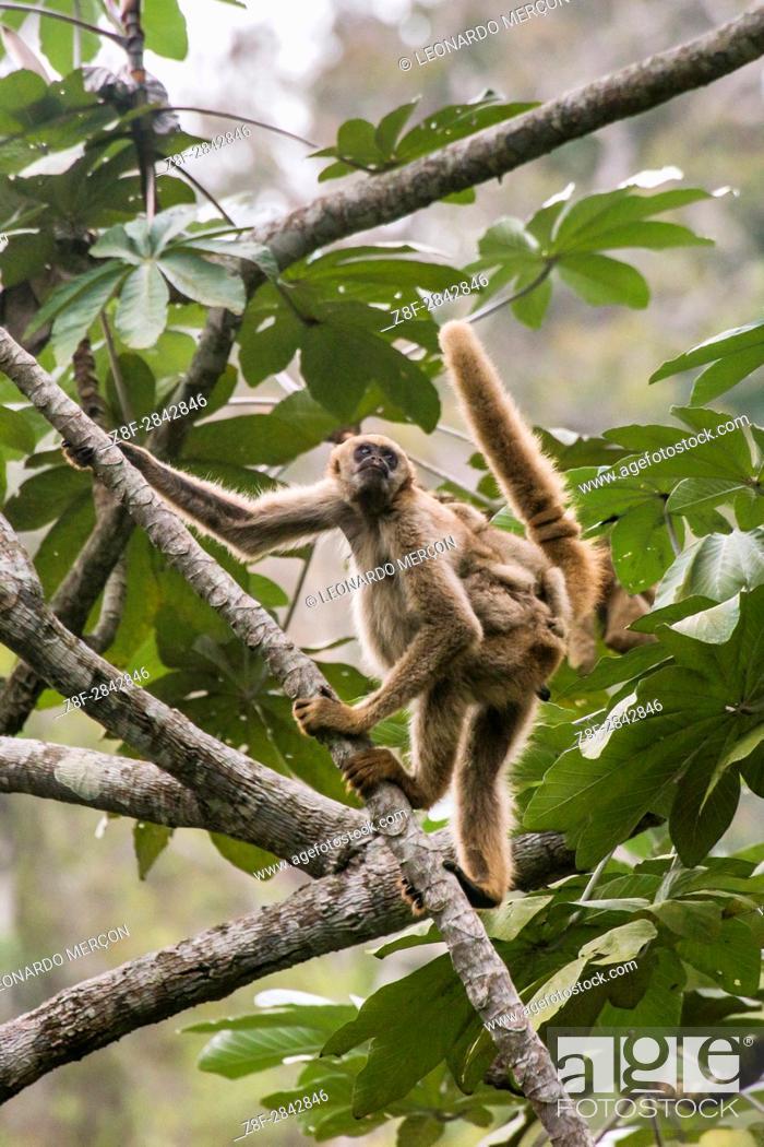 Stock Photo: Northern muriqui (Brachyteles hypoxanthus) with baby, critically Endangered of extinction, photographed in Santa Maria de Jetibá, Espírito Santo - Brazil.