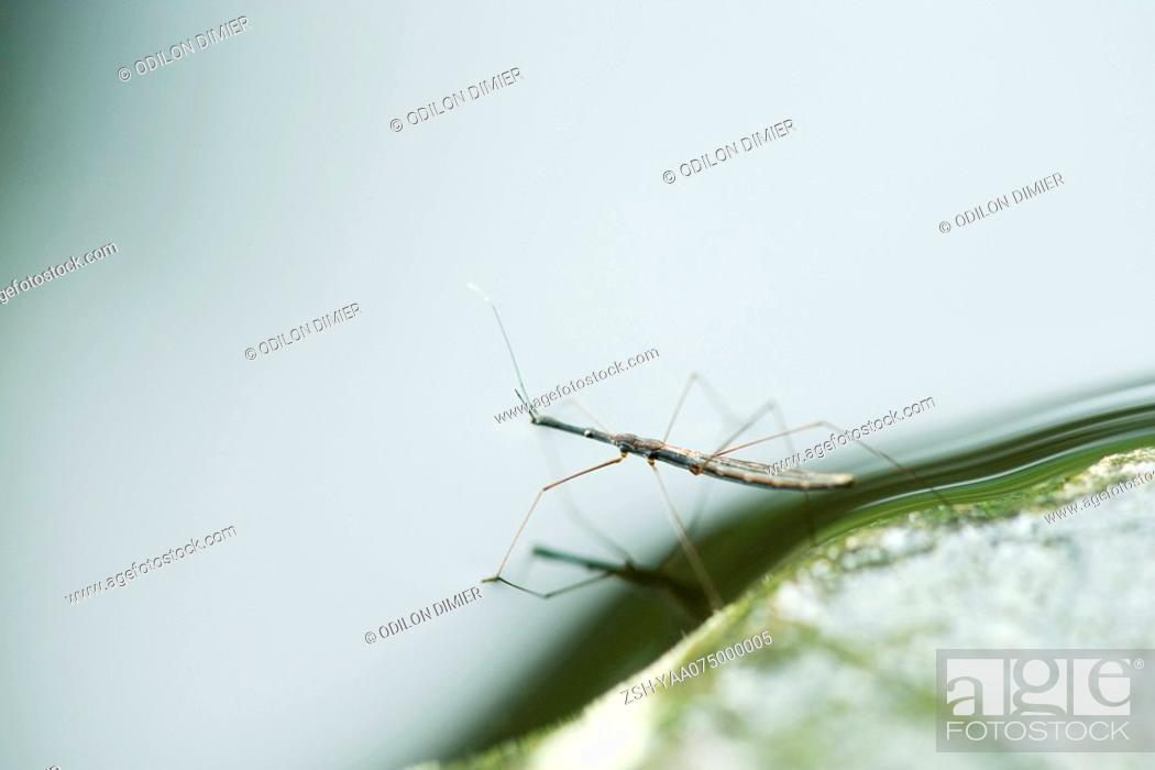 Stock Photo: Water strider stepping off leaf and onto water surface.