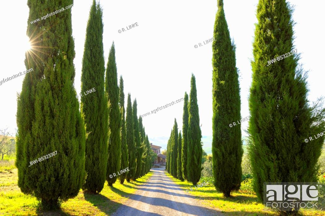 Stock Photo: Italian cypress (Cupressus sempervirens), Cypress Lined Road, San Quirico d'Orcia, Italy, Tuscany, Siena.