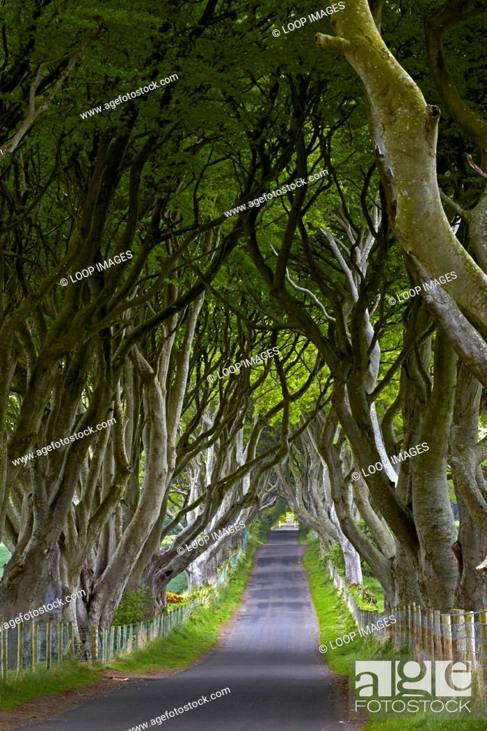 Stock Photo: Bregagh Road which is known locally as the Dark Hedges.