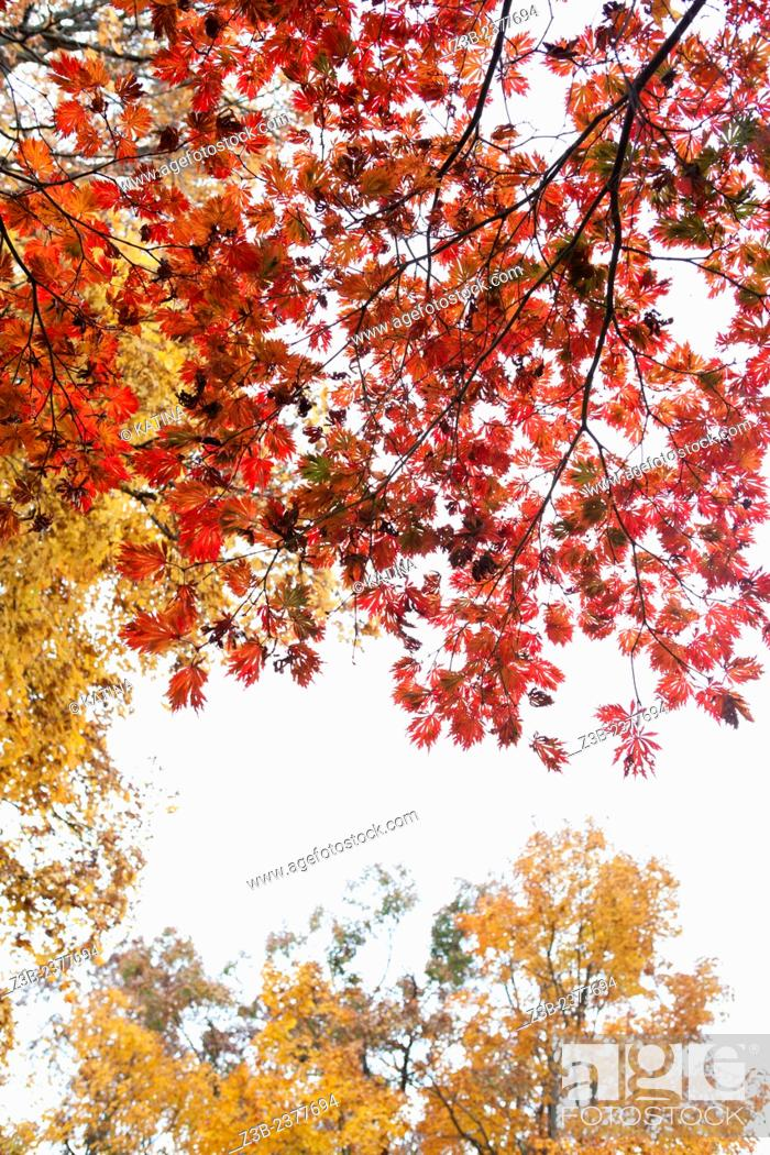Imagen: Japanese Maple tree, Acer japonicum, with red leaves and yellow maple tree, Frelinghuysen Arboretum, Morristown, New Jersey, NJ, USA.
