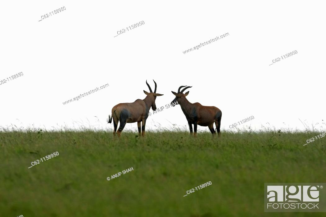 Stock Photo: Topi males in confrontation (Damaliscus lunatus), Maasai Mara National Reserve, Kenya.