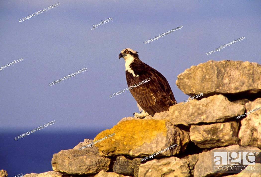 Stock Photo: Osprey (Pandion haliaetus) in coastal Venezuela.