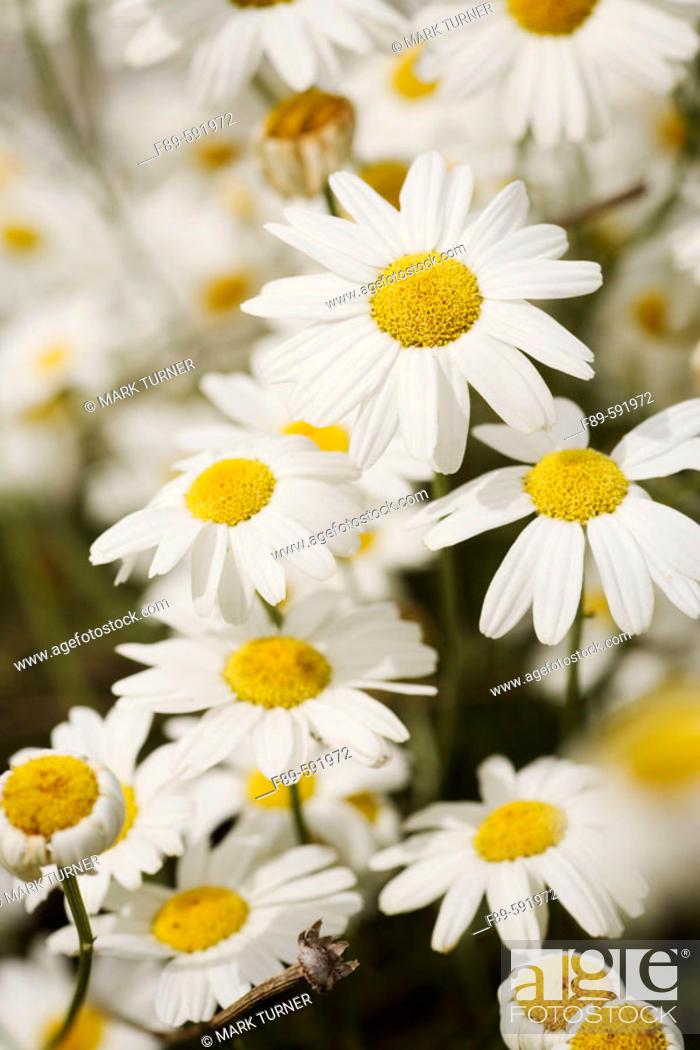 Stock Photo: Dalmatian Pyrethrum (Chrysanthemum cinerariifolium, Tanacetum cinerariifolium). UW Medicinal Herb Garden, Seattle. Washington. USA.