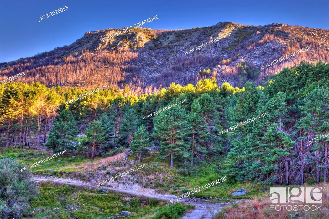 Stock Photo: Live and Burned Forest. Sierra de Gredos Regional Park. Avila Province. Castilla y Leon. Spain.