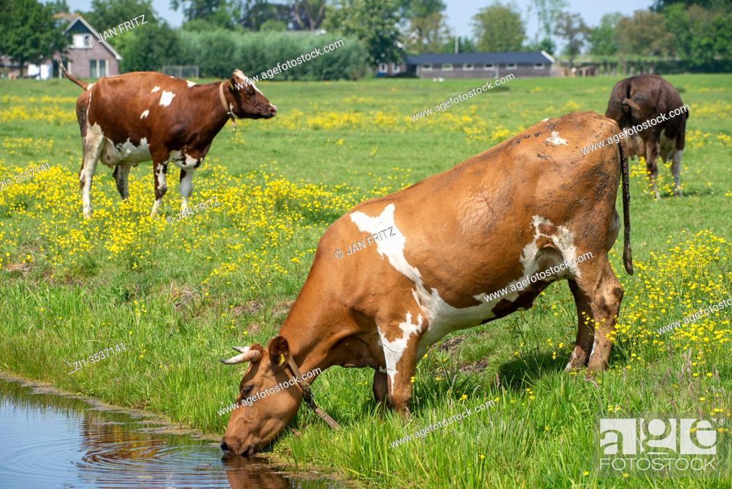 Photo de stock: drinking cow at ditch in Groene Hart, Holland.
