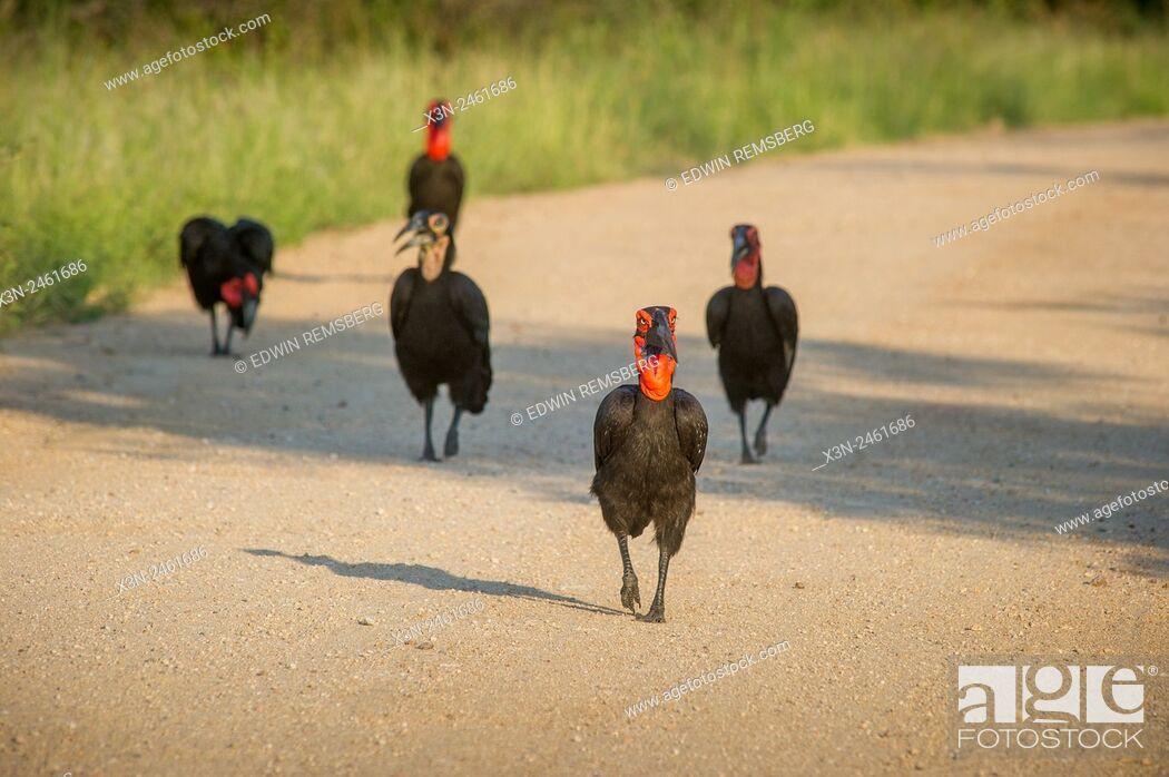 Imagen: SOUTH AFRICA- Kruger National Park . Southern Ground Hornbill (Bucorvus cafer).