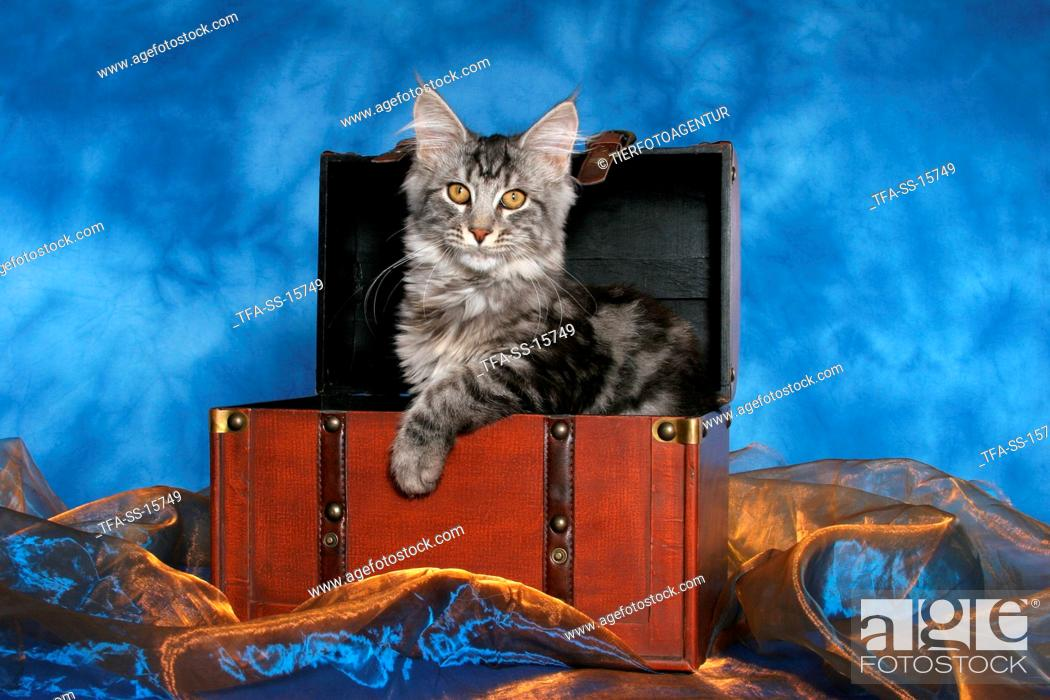 Stock Photo: young maine coon in case.