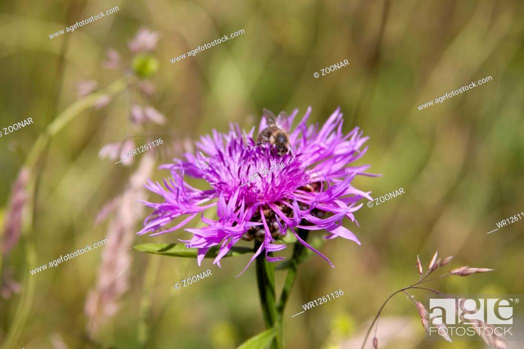 Stock Photo: Brown Knapweed Centaurea jacea.