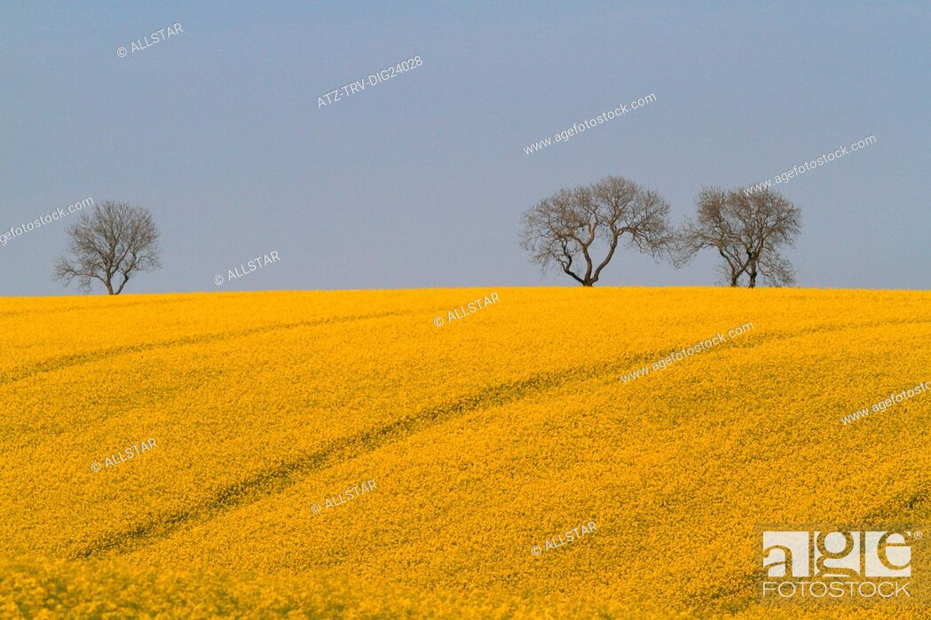 Stock Photo: YELLOW RAPESEED FIELD; EAST AYTON, SCARBOROUGH, NORTH YORKSHIRE; 19/05/2014.