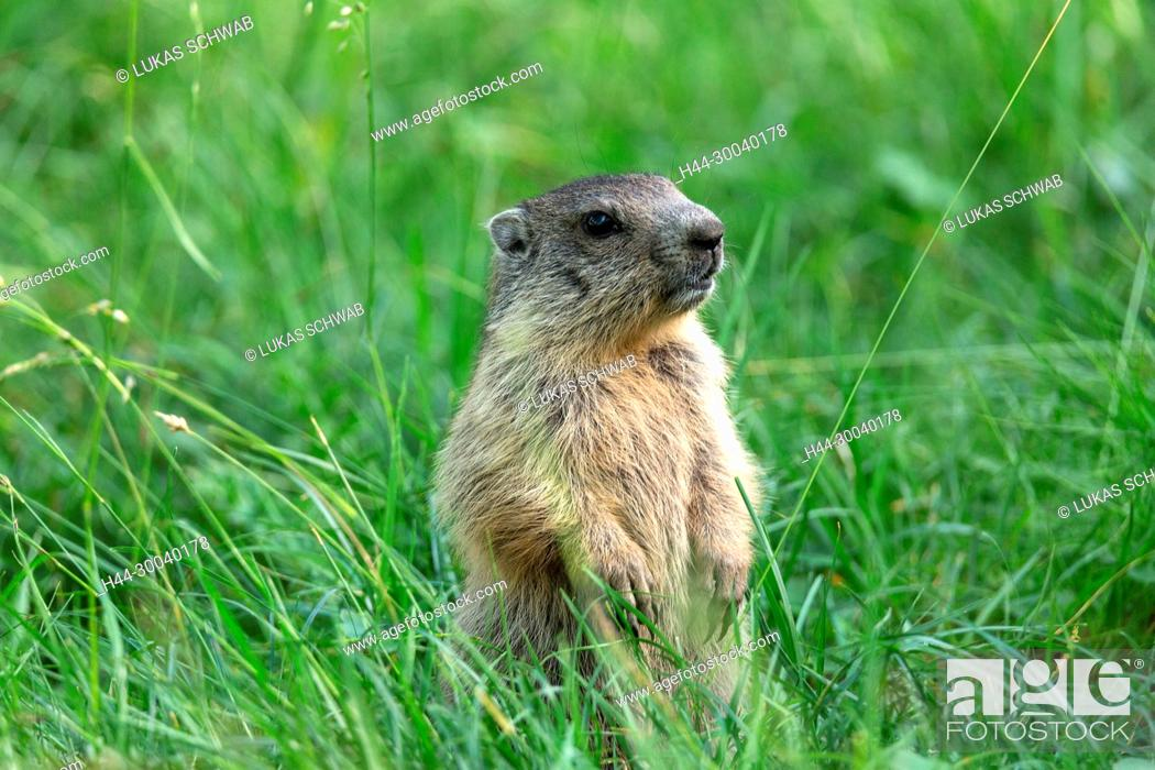 Stock Photo: Marmota marmota, Mammal, Animal, Nature, Switzerland, Alpine marmot, Marmot.