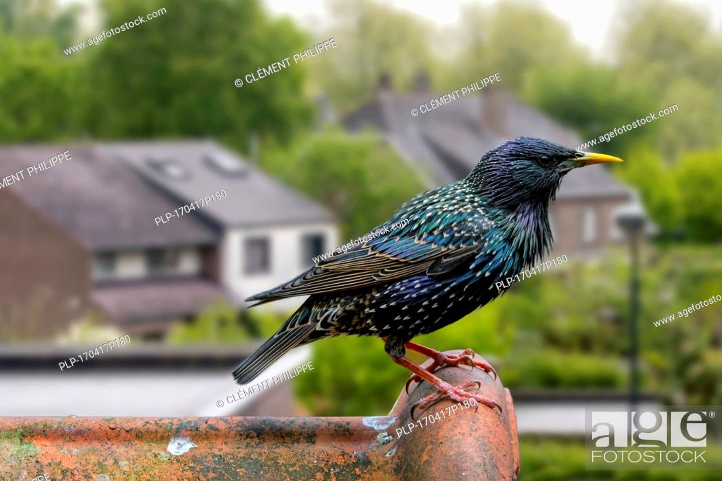 Stock Photo: Common starling / European starling (Sturnus vulgaris) male perched on roof tile of house.
