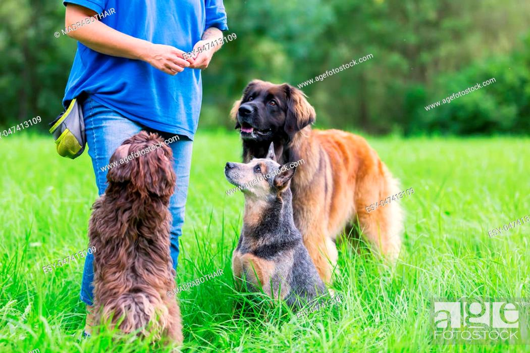 Stock Photo: woman with a Leonberger, an Australian cattledog and a Havanese dog outdoors.