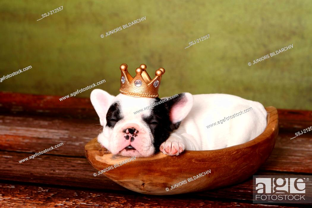 Stock Photo: French Bulldog. Puppy (6 weeks old) sleeping in a wooden bowl, wearing a crown. Germany.