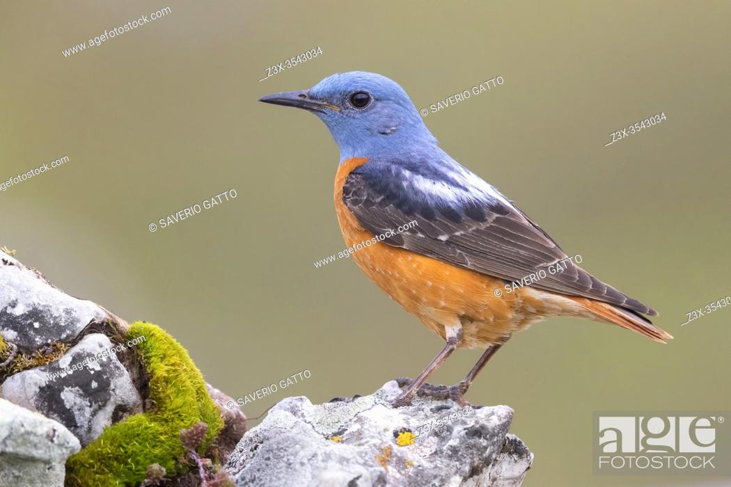 Stock Photo: Common Rock Thrush (Monticola saxatilis), side view of an adult male standing on a rock, Abruzzo, Italy.