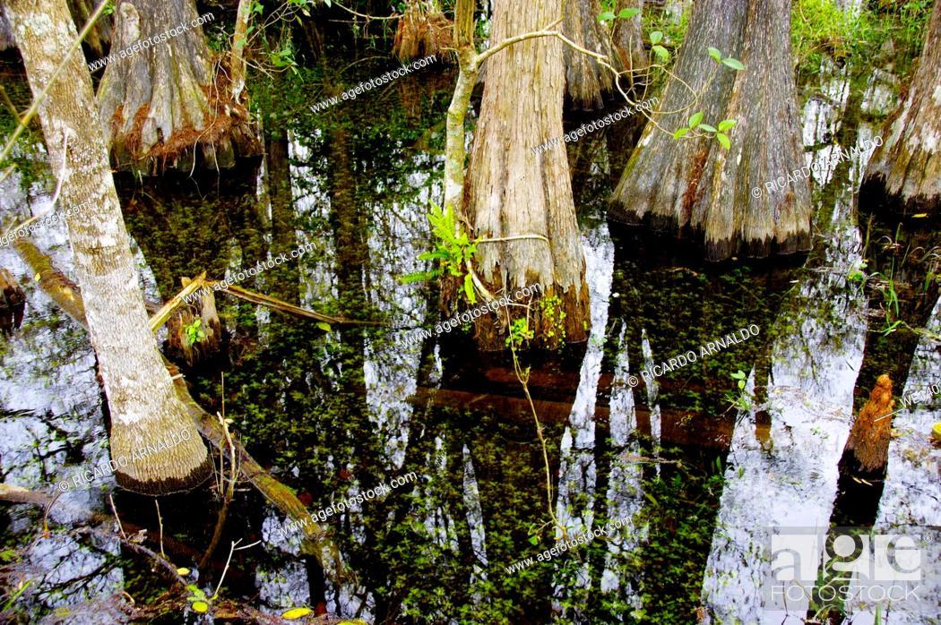 Stock Photo: Details of Big Cypress Swamp Preserve.