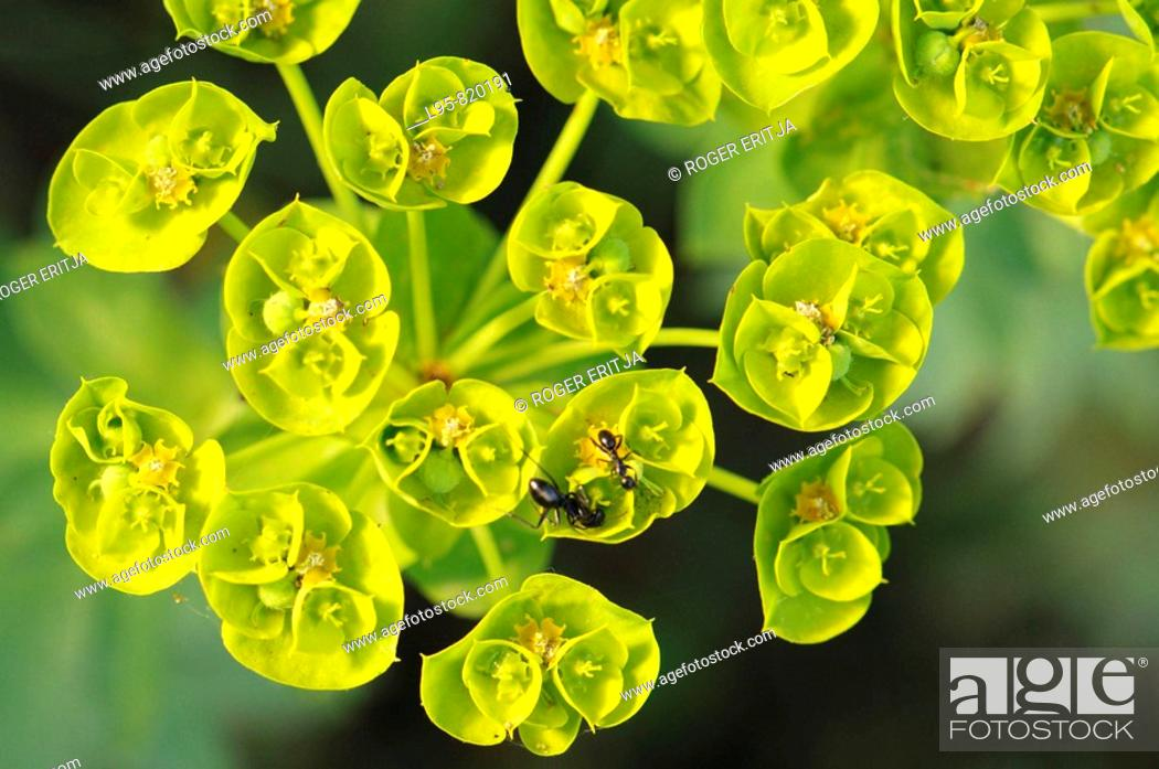 Stock Photo: Spurge flowers and harvesting ant, Spain.