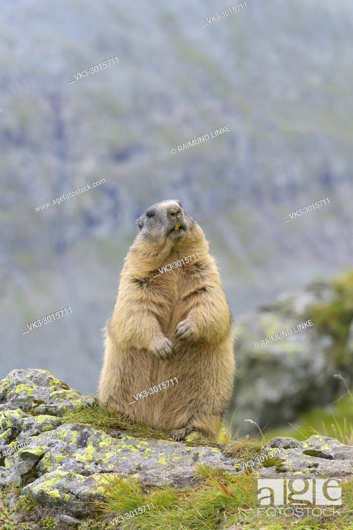 Photo de stock: Alpine Marmot, Marmota marmota, standing, Hohe Tauern National park, Austria.
