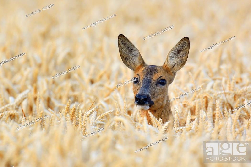 Stock Photo: Roe deer in wheat field, Capreolus capreolus, Doe, Hesse, Germany, Europe.
