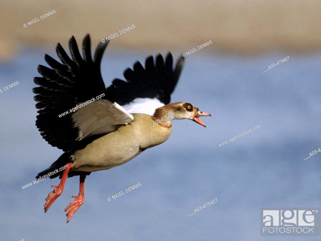 Stock Photo: Egyptian Goose, Alopochen aegyptiacus, in flight, KwaZulu-Natal, South Africa.