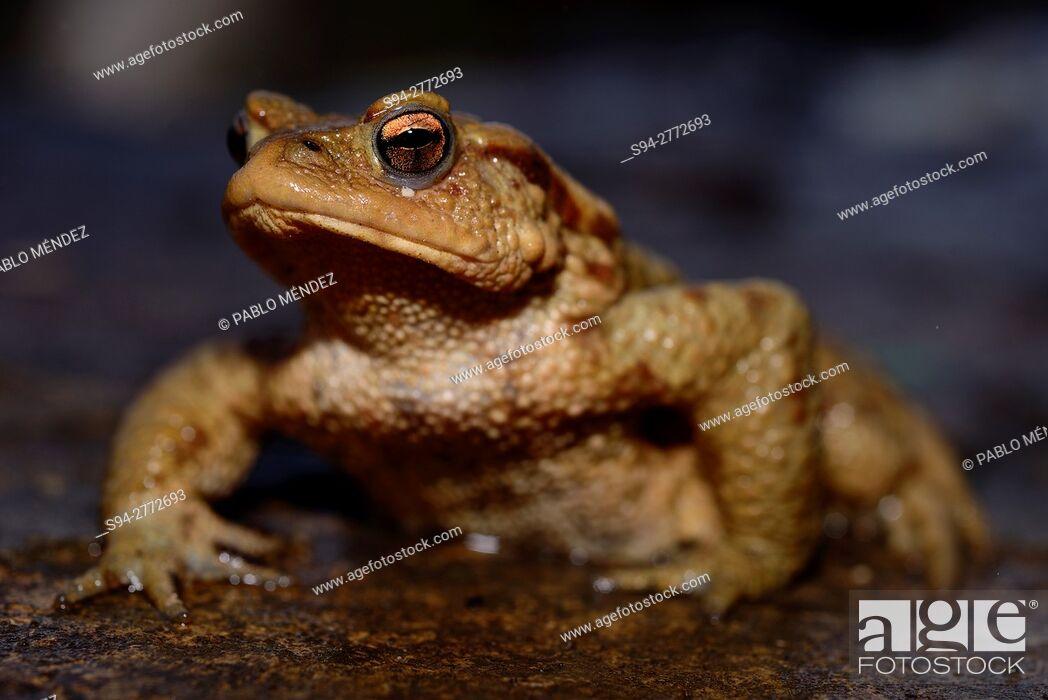 """Imagen: Common toad """"""""Bufo bufo"""""""" in Kravica falls, near Ljubuski, Bosnia and Herzegovina."""