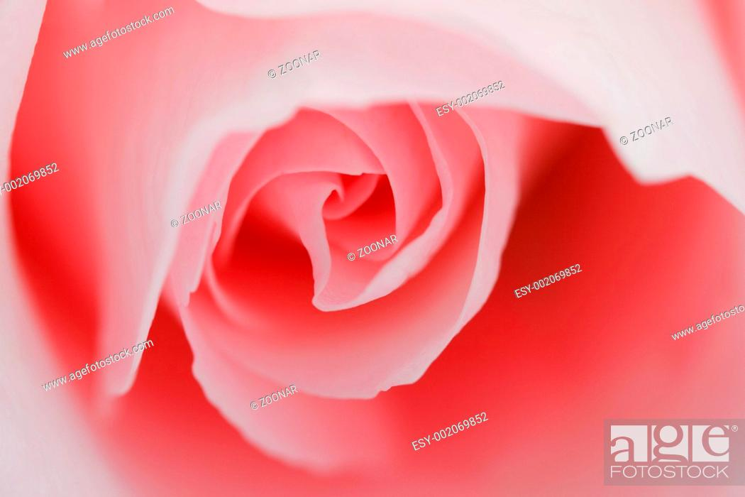 Stock Photo: Macro flower beautiful rose for a background image.