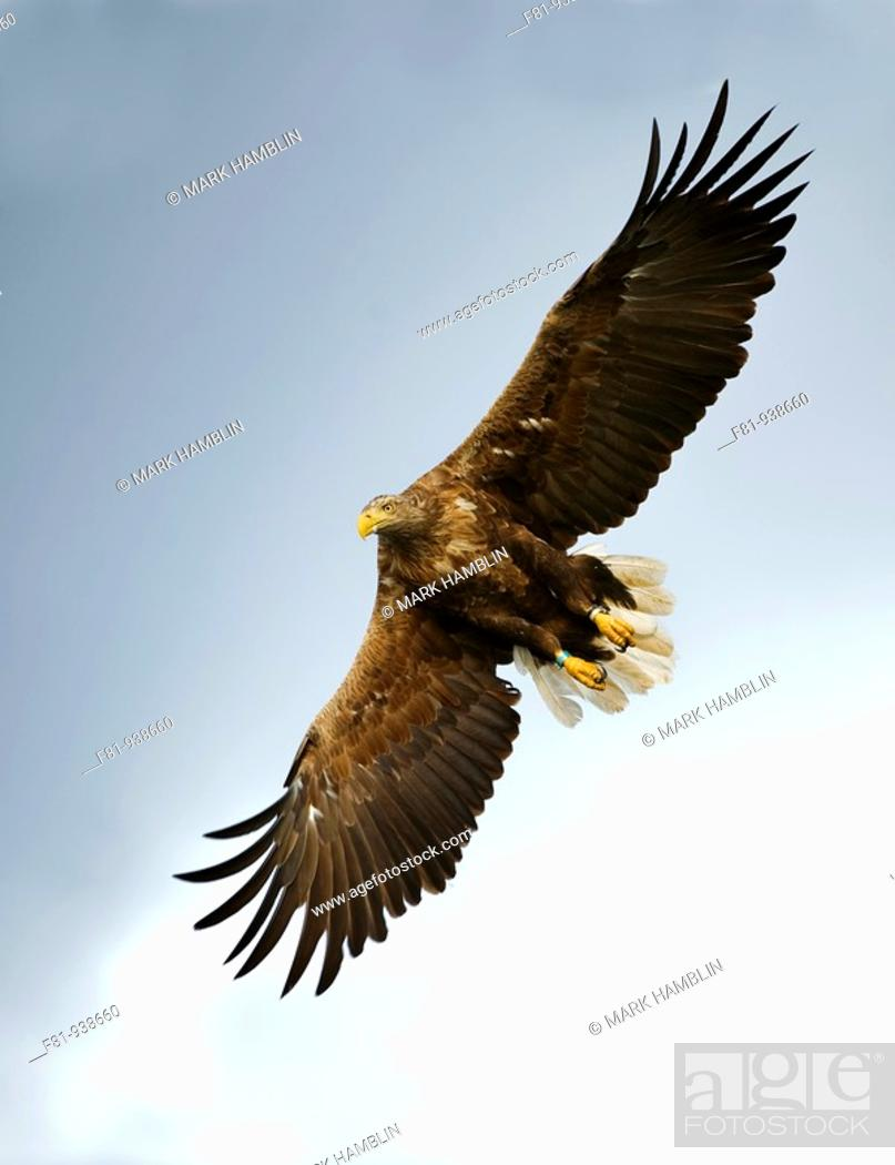 Stock Photo: White-tailed eagle Haliaeetus albicilla adult in flight  Norway  August 2009.