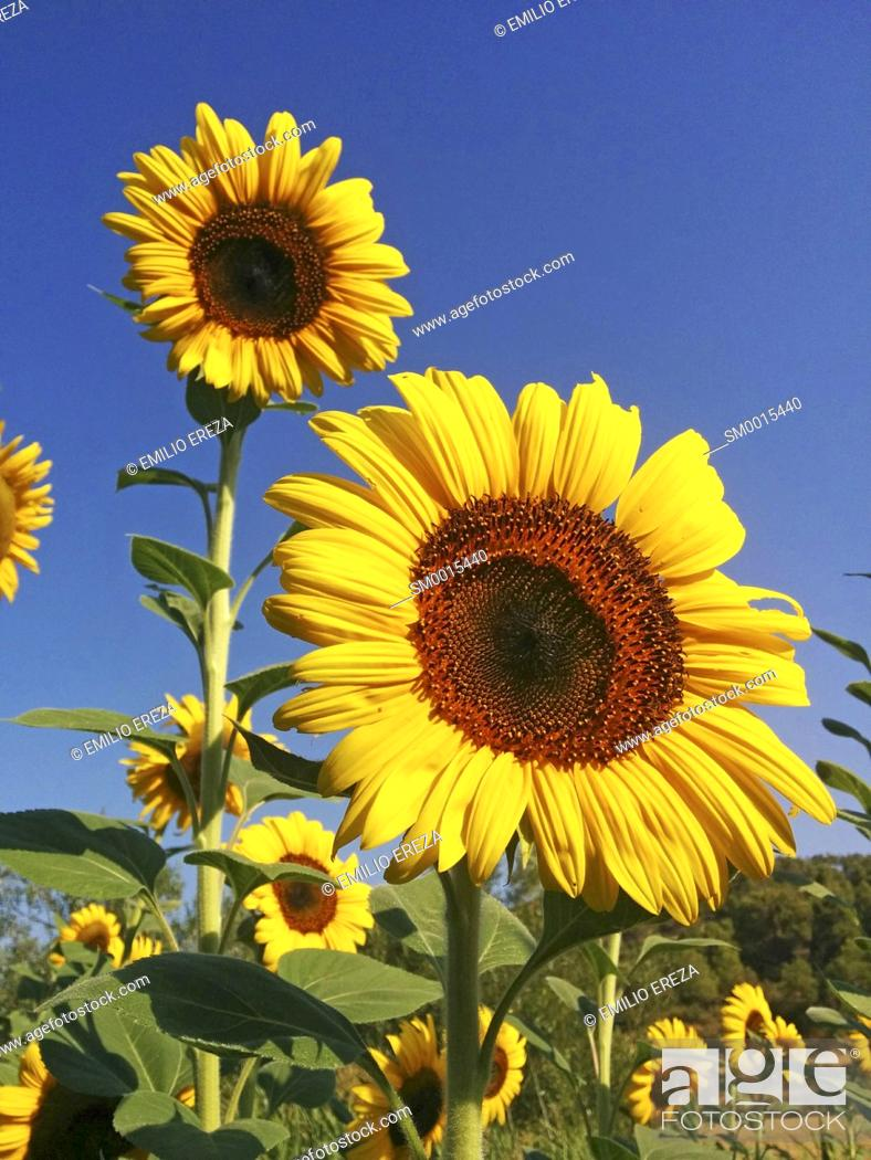 Stock Photo: Sunflower. Helianthus annuus.