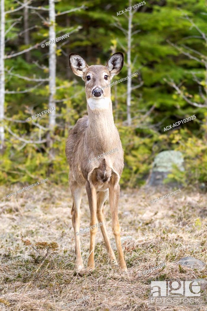 Stock Photo: White-tailed Deer (Odocoileus virginianus), Barrie Island, Manitoulin Island, Ontario, Canada.