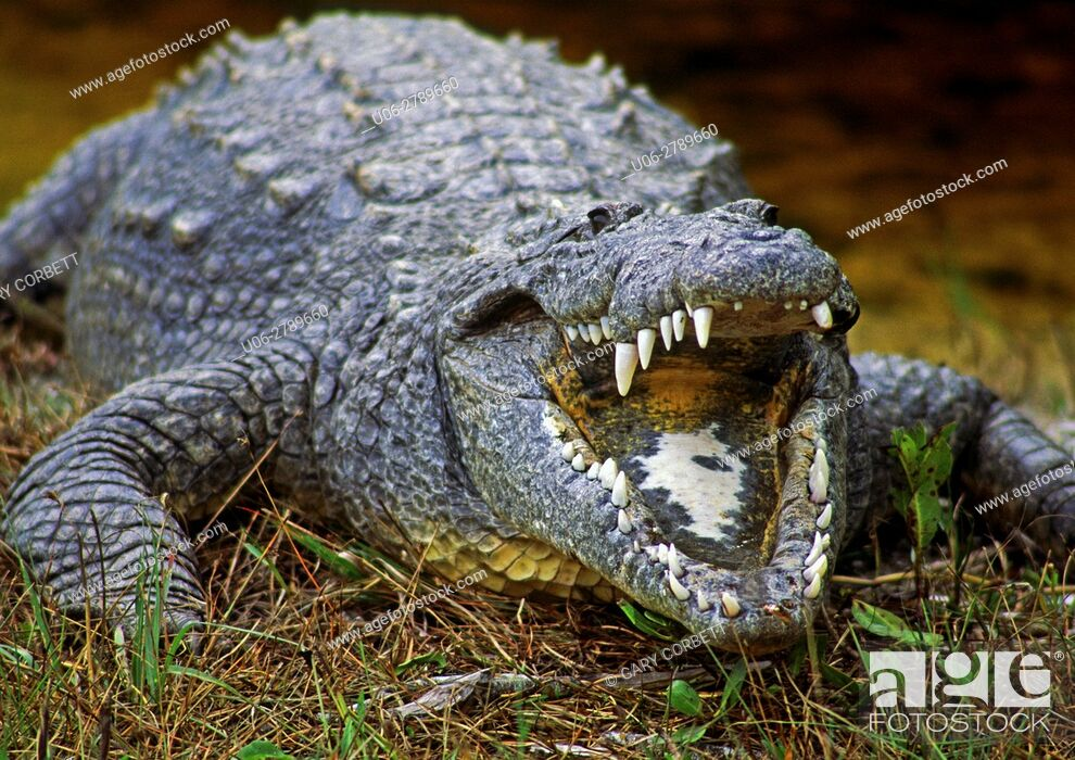 Stock Photo: American Crocodile in Florida USA at Ding Darling Wildlife Refuge.