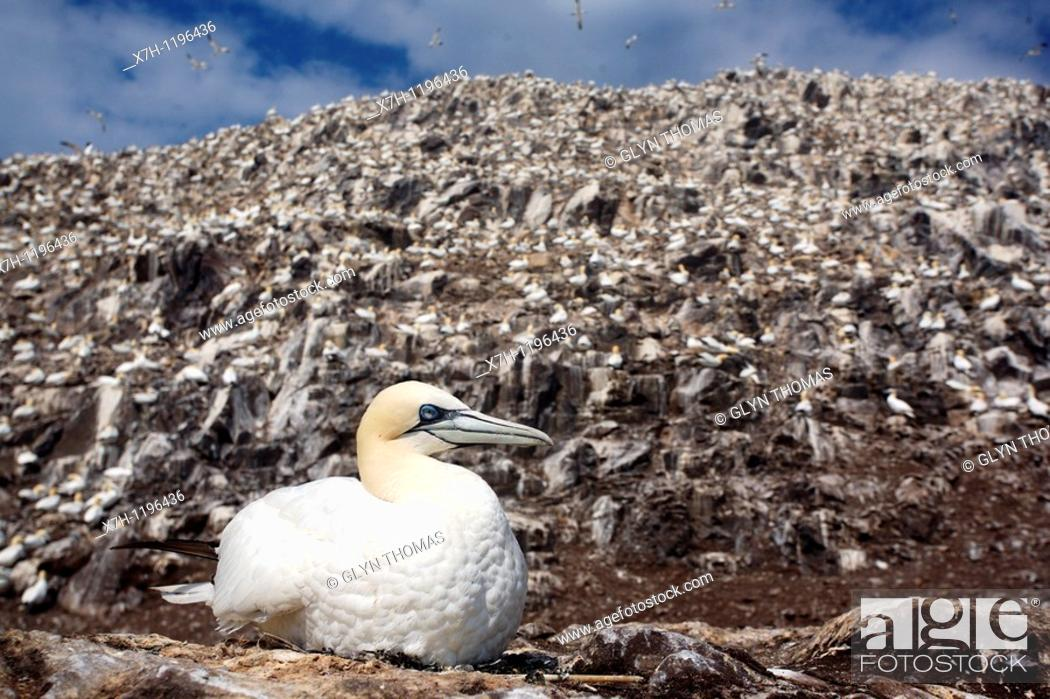 Stock Photo: Gannet sitting on its nest on Bass Rock.